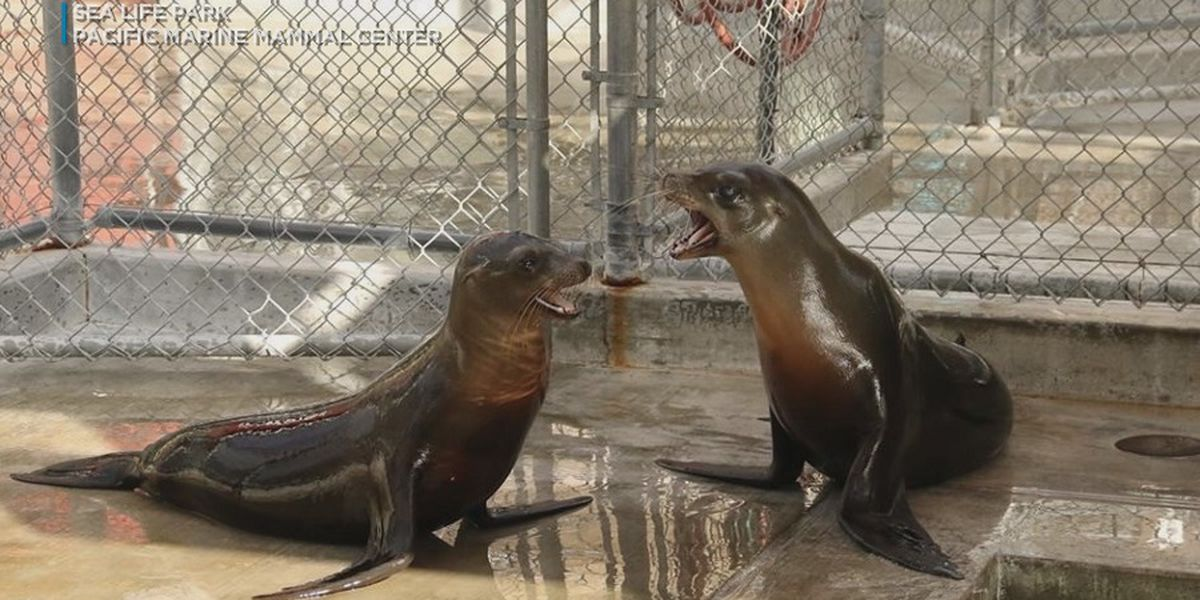 Rescued California sea lions now at Oahu's Sea Life Park