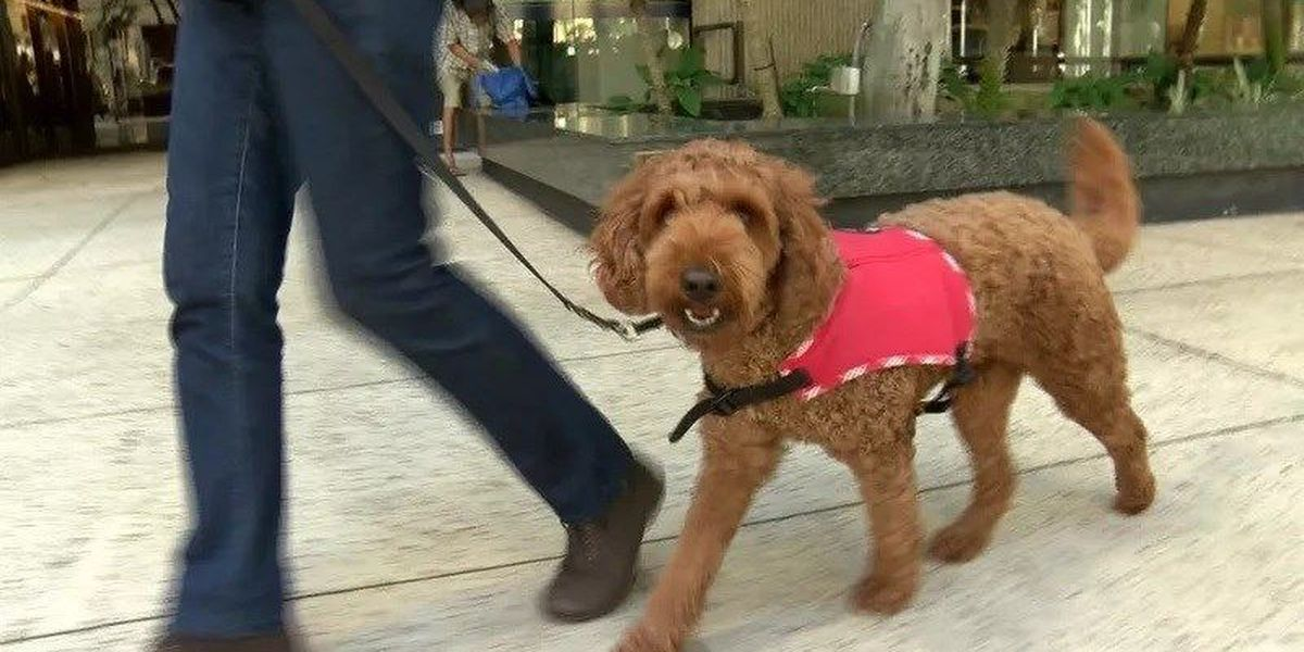 Bill targeting false service animals introduced in Hawaii