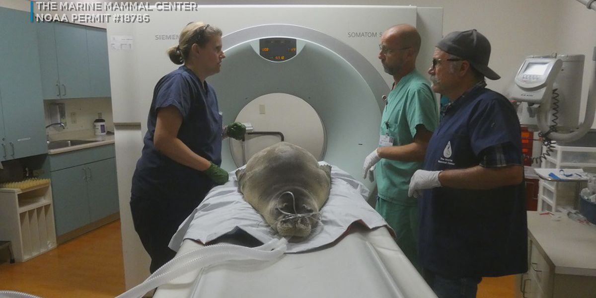 Endangered monk seal undergoes CT scan at Hawaii hospital