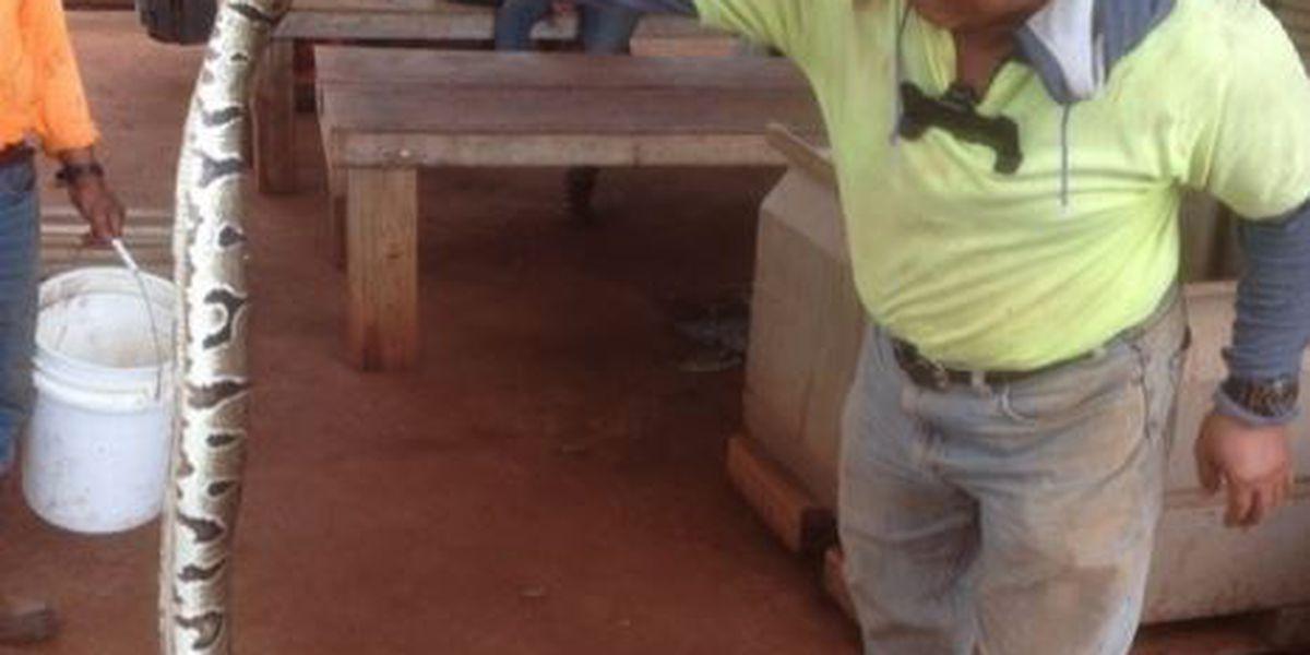 Ball python captured at Maui coffee farm