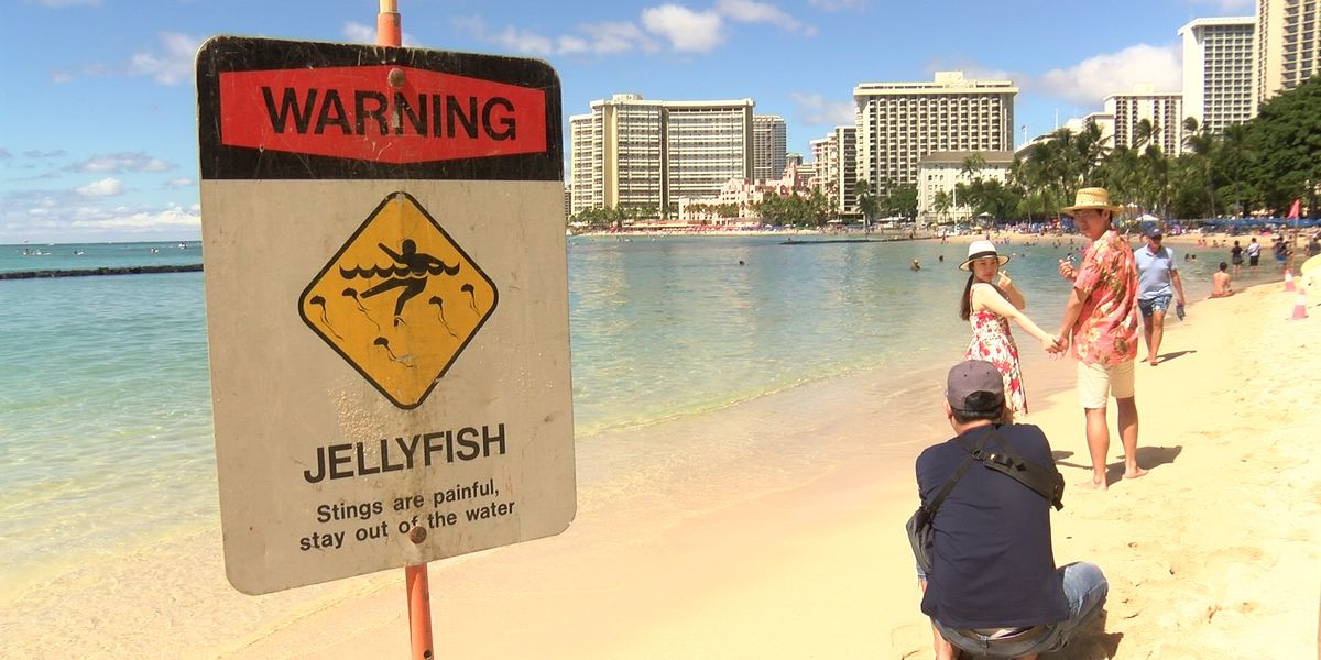Large influx of box jellyfish invade Oahu's south shore