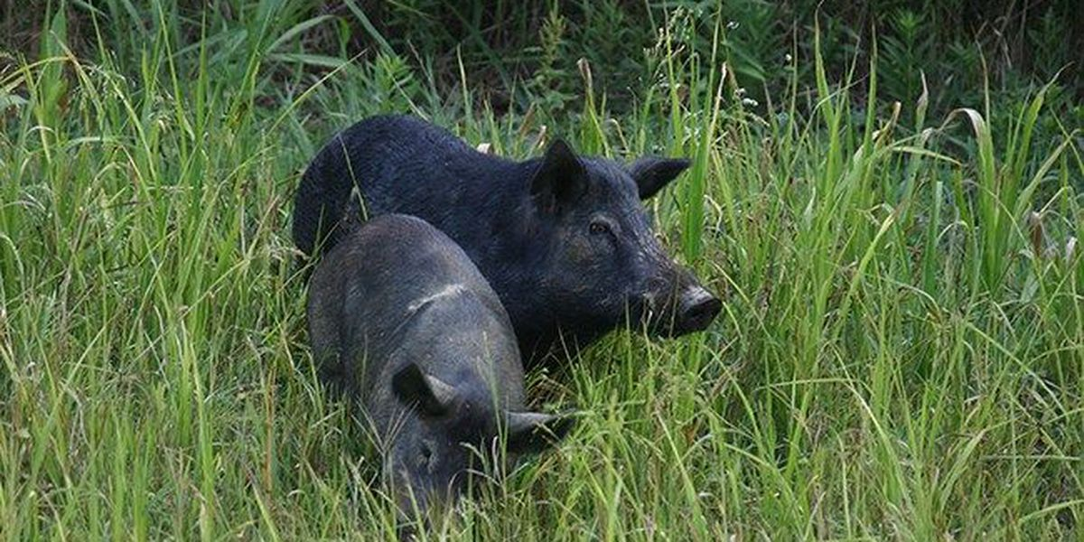 Study: Polynesians likely introduced feral pigs to Hawaii