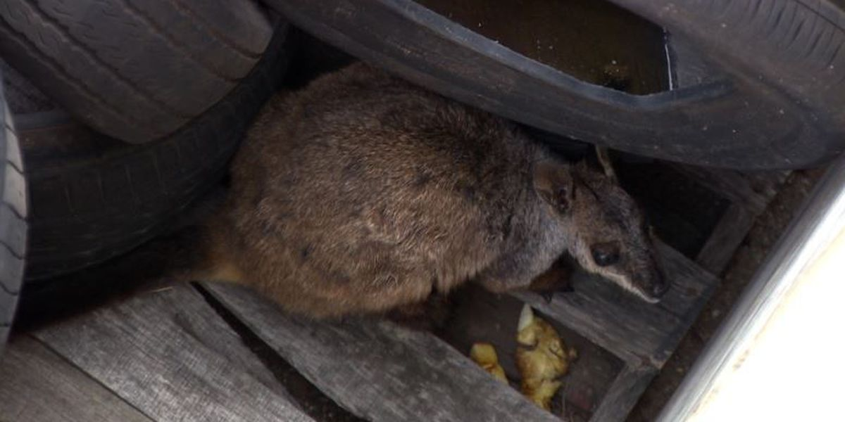 Wallaby update: After getting hit by car in Halawa, rare wallaby is OK