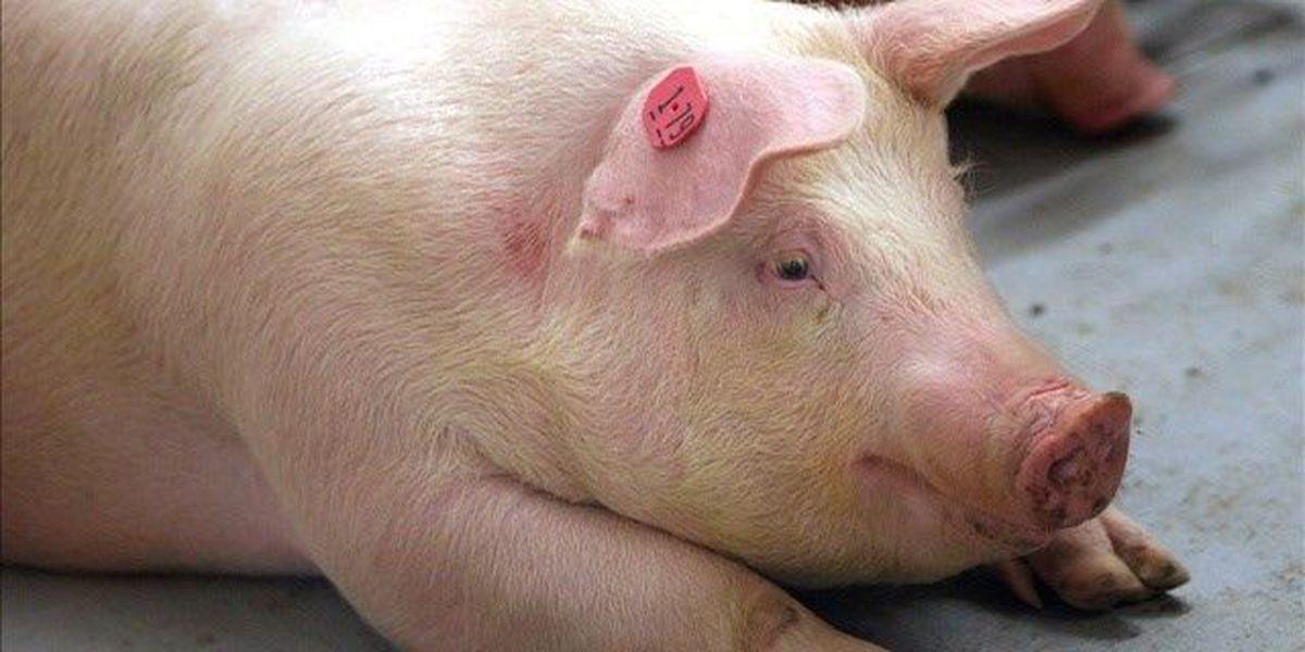 Swine disease discovered on Waianae pig farm