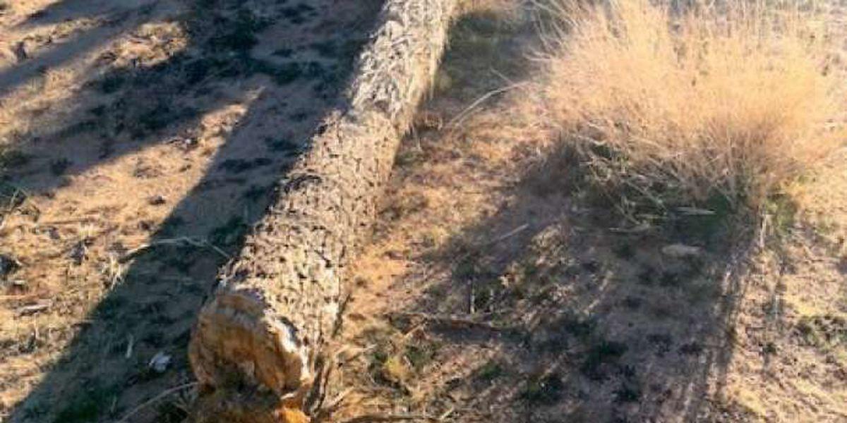 Iconic Joshua trees cut down during government shutdown