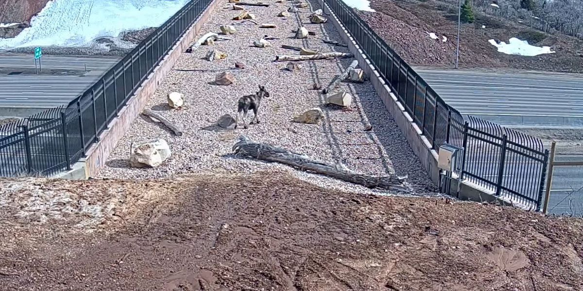 WATCH: Wildlife uses Utah's first interstate crossing just for them