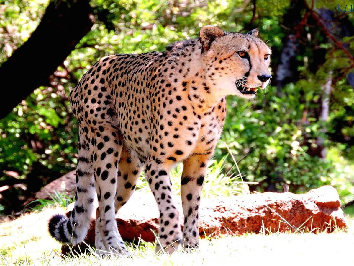 Honolulu Zoo euthanizes its 14-year-old cheetah
