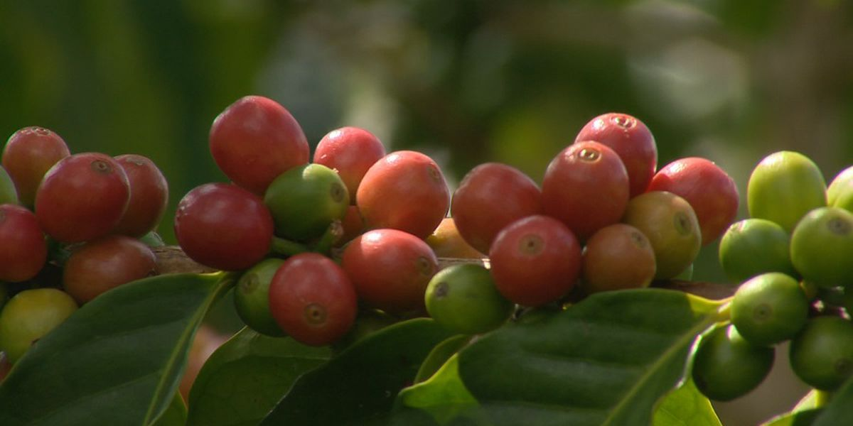 Hawaii coffee farmers in jeopardy with no federal aid