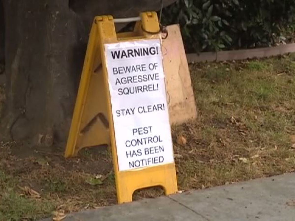 GRAPHIC: 'Aggressive' squirrel evicted from Calif. tree after attacking 4 people