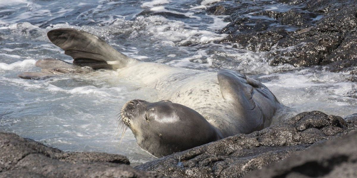Officials investigate drowning of Hawaiian monk seal
