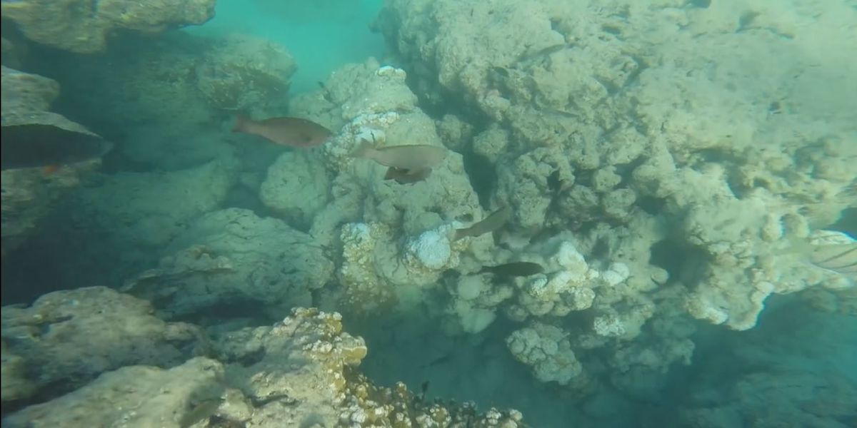 UH study: acidification breaking down coral reefs