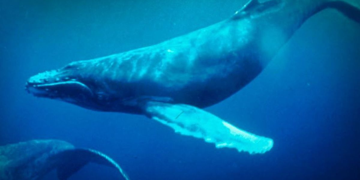 Hawaii's humpback whales aren't missing -- they're just a little behind schedule