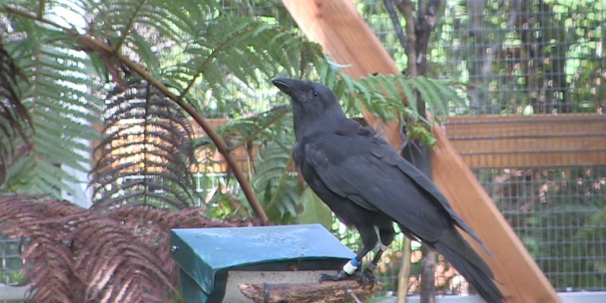 Alala birds are back in the wild after disappearing 15 years ago