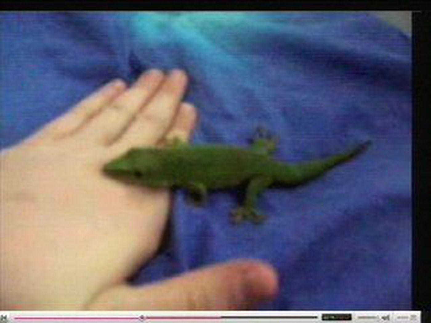 Beware, Madagascar Giant Day Gecko Bites!