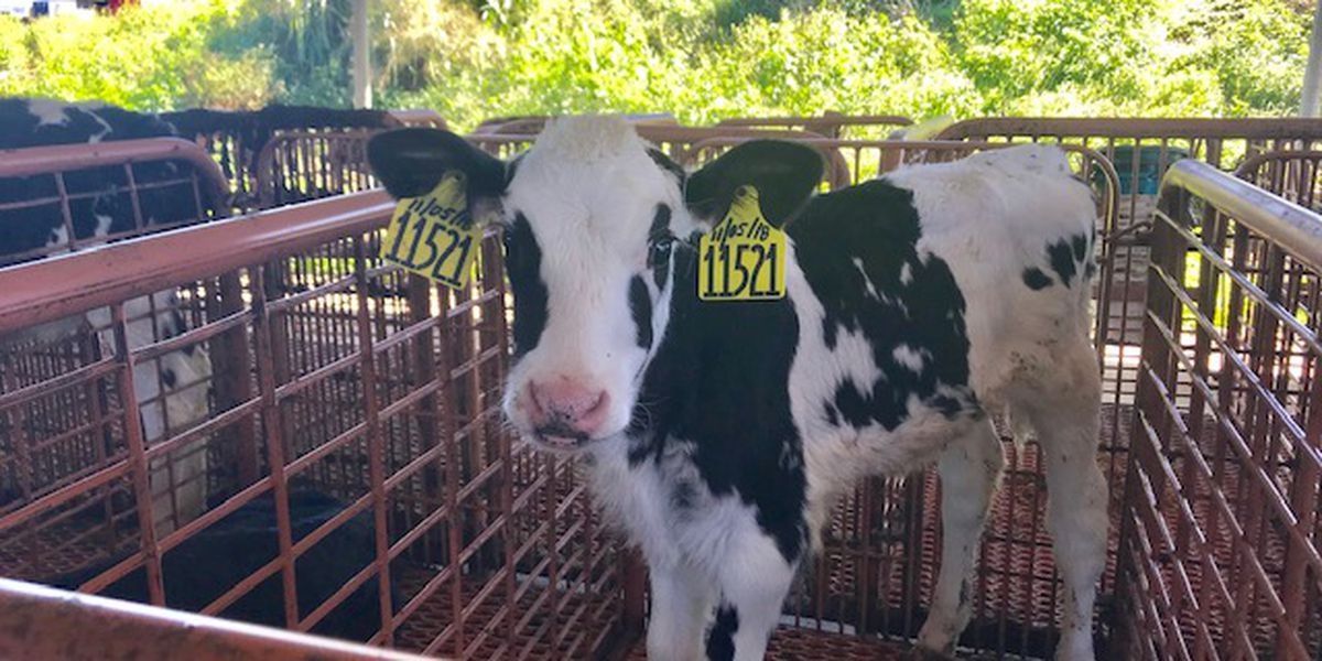 Group seeks help to adopt dozens of cows from Big Island Dairy