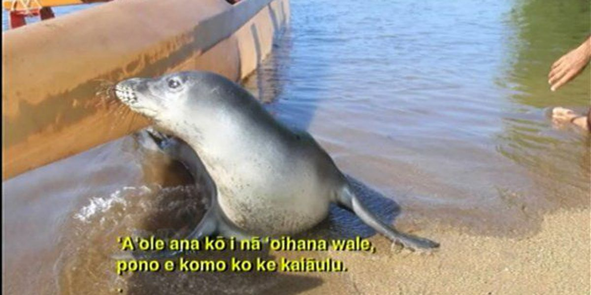 Interesting trend emerges around the Hawaiian monk seal