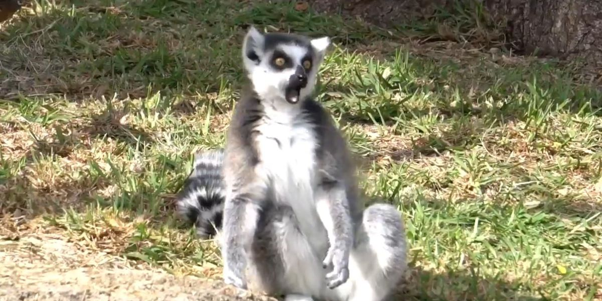 Yes, Honolulu Zoo has lemurs (and they just welcomed 2 more)