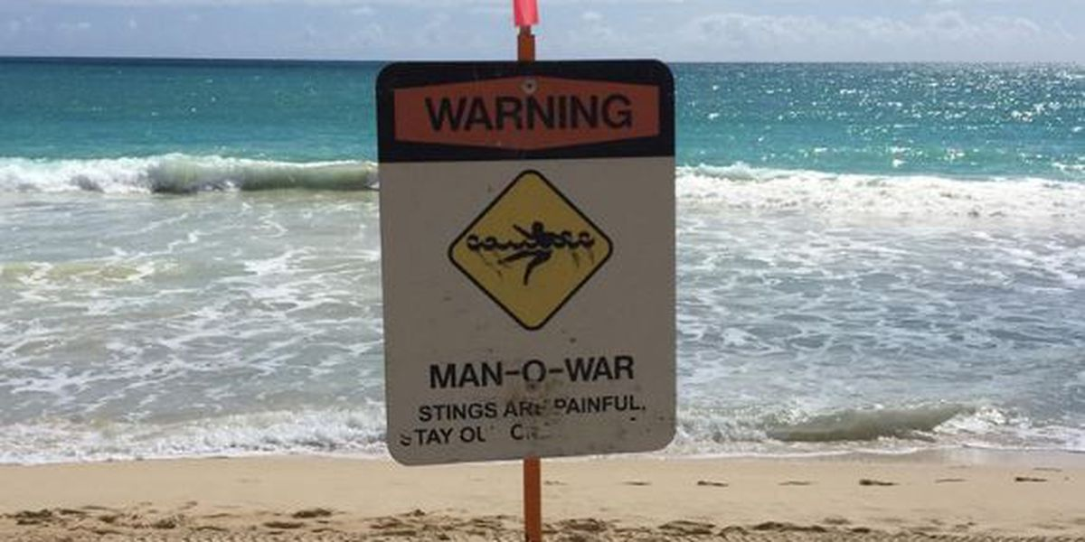 Hundreds stung after man-of-wars invade Oahu beaches