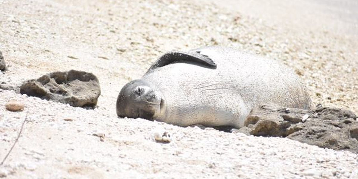 DLNR: Monk seal Kaimana is OK after being hooked with fishing debris