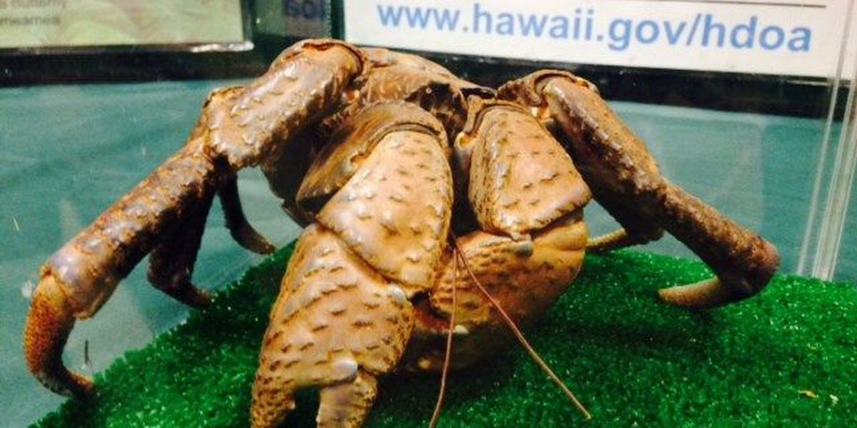 Large coconut crab found in Salt Lake neighborhood