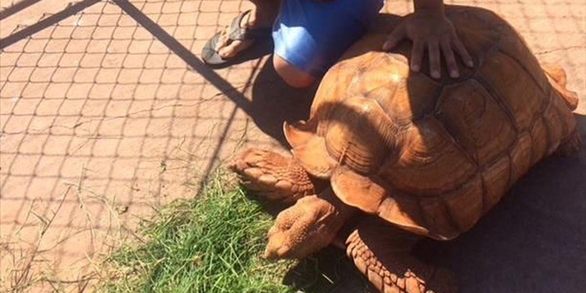 Ewa Beach family missing big pet tortoise