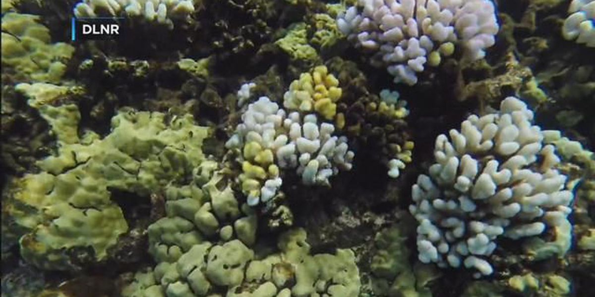 Hawaii to release coral reef management plan amid bleaching