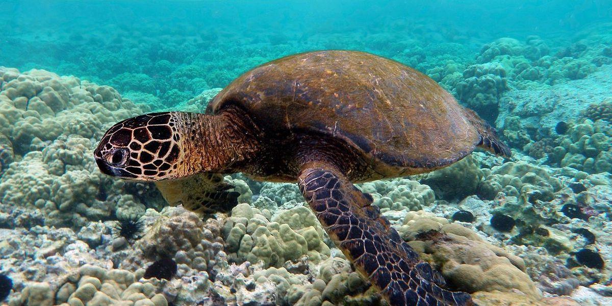 Man accused of killing green sea turtle at Kauai beach