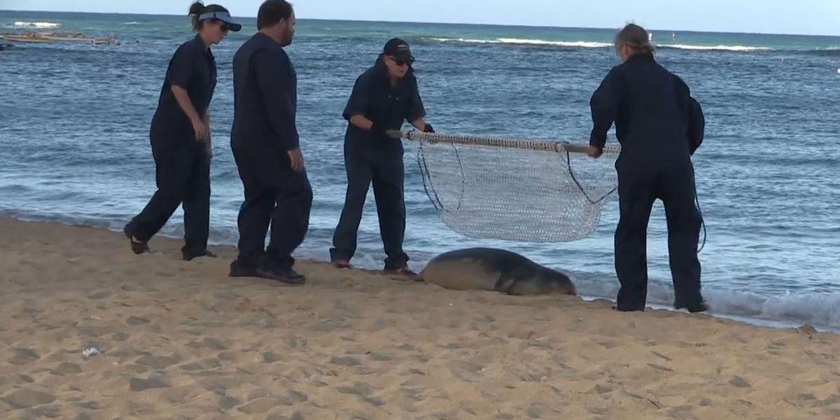 Photos: Kaimana the monk seal moved from Waikiki shoreline