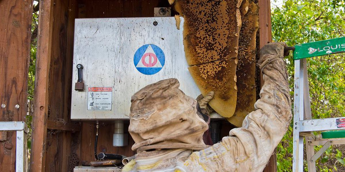 Bee colony removed from Maui emergency siren