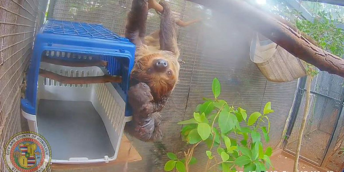 Honolulu Zoo welcomes newest member of the family: A baby sloth