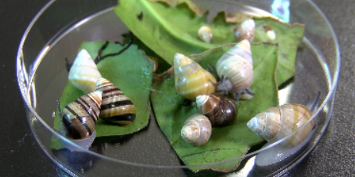 From a small lab in Windward Oahu, scientists race against time to save rare Hawaiian snails