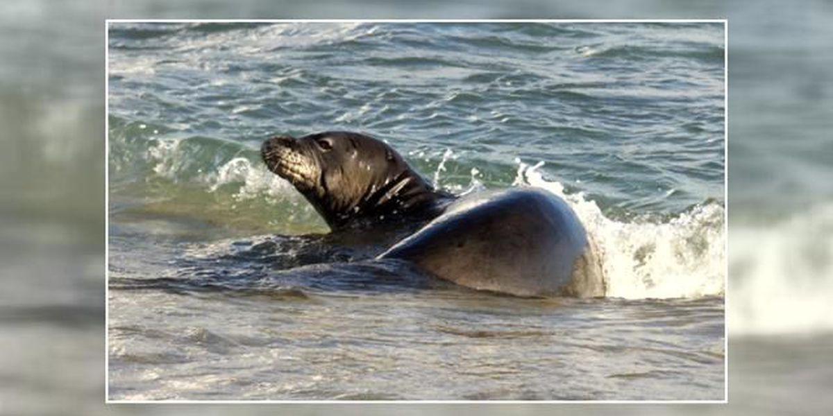 NOAA prepares for Hawaiian monk seal vaccinations