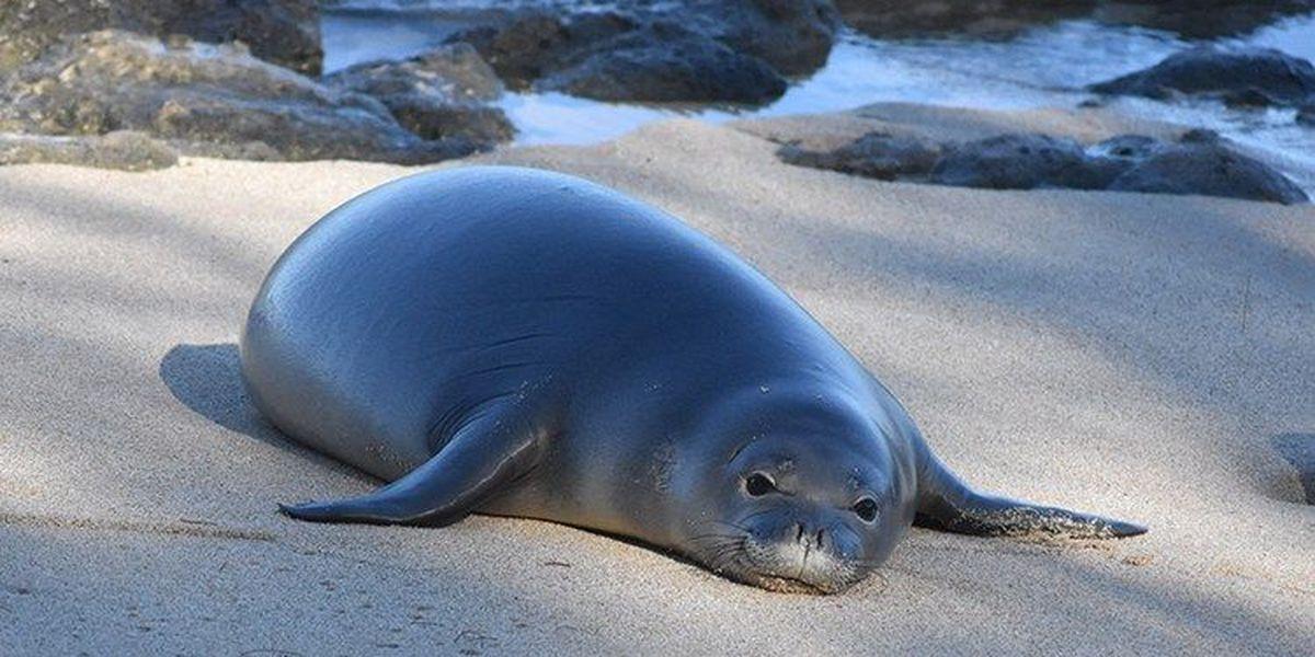 Hawaiian monk seal RJ16, known as Kahulu, dies on Oahu