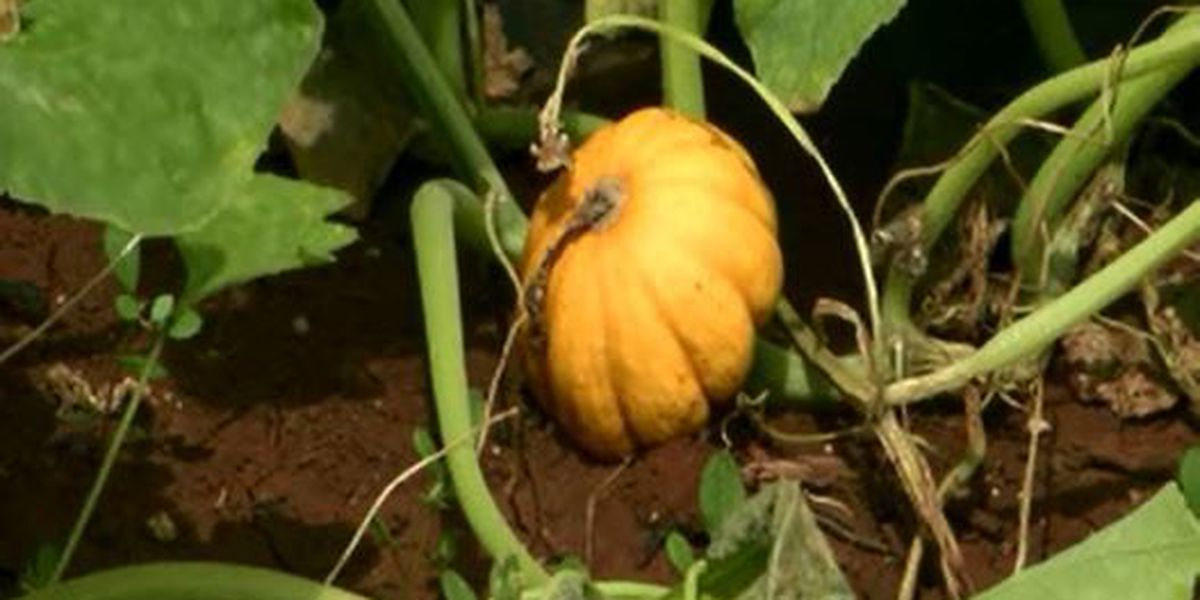 Pumpkin farmers say too much rain is just as bad as drought
