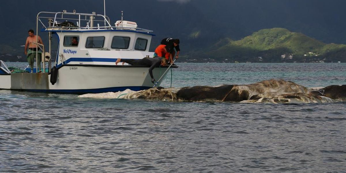 Whale carcass removed from Kaneohe Bay reef