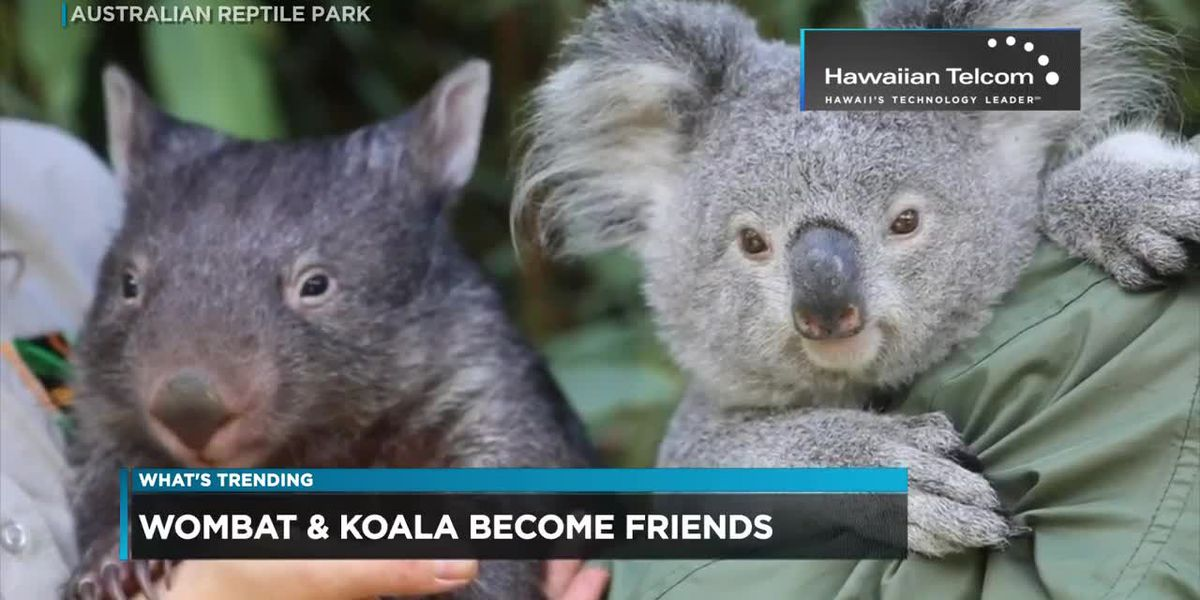 What's Trending: A wombat and koala in Australia become friends