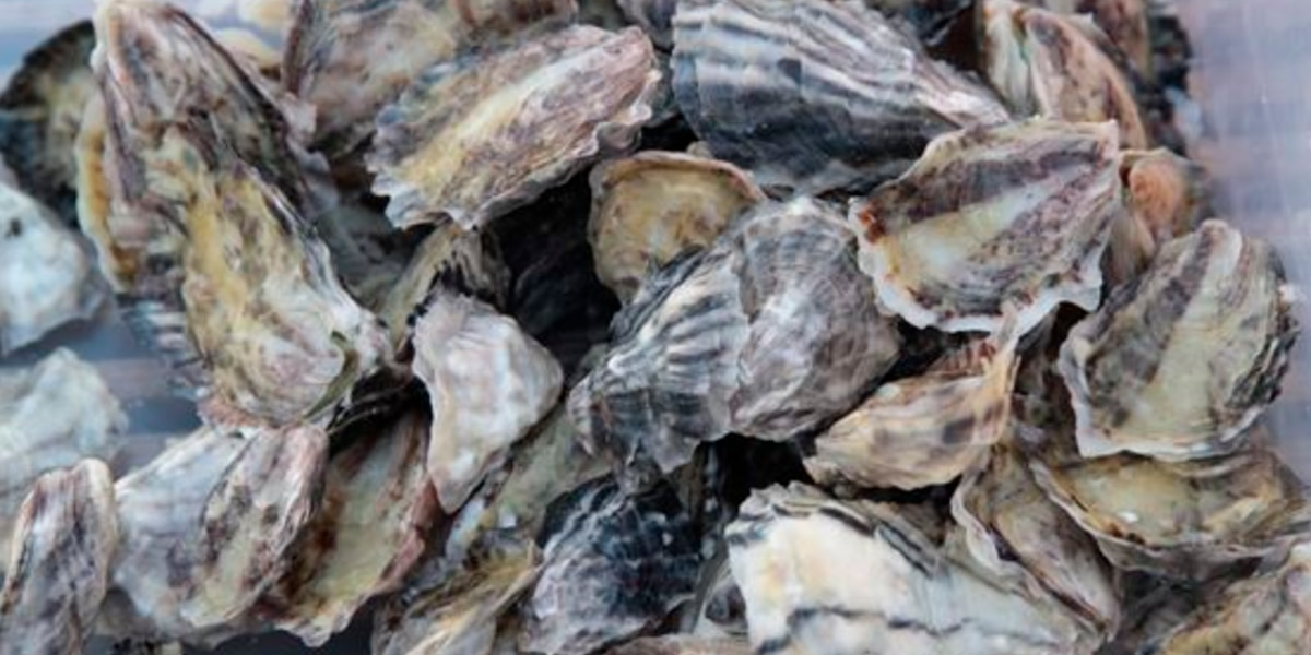 Oysters being used for research stolen on Maui; may pose health risk if eaten