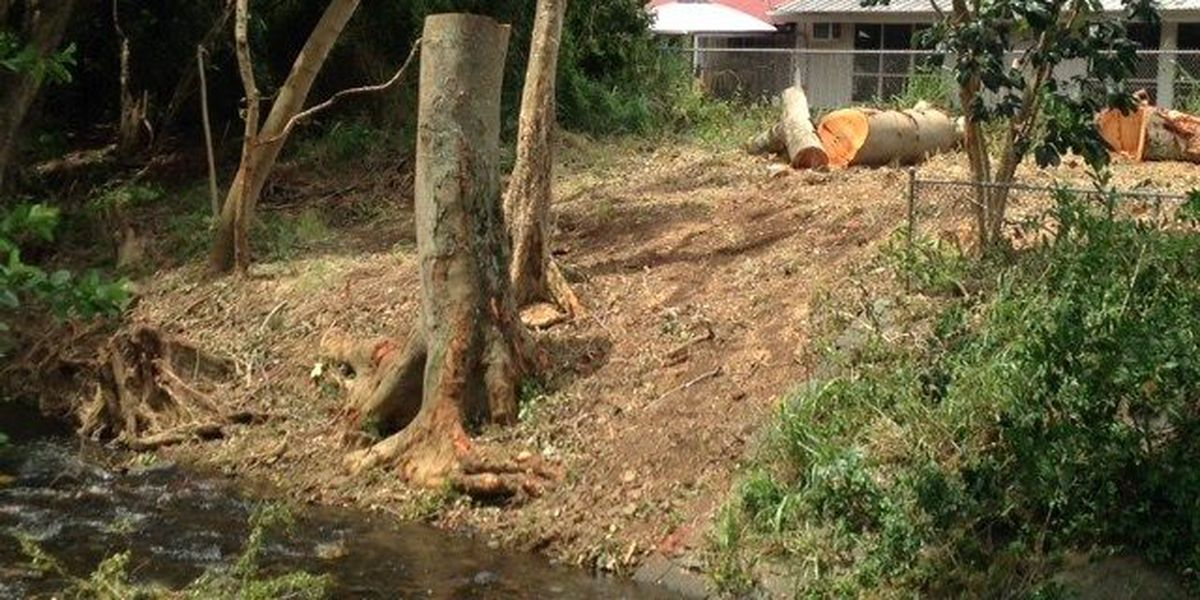 Dozens of trees in Manoa to get the ax as part of stream dredging project