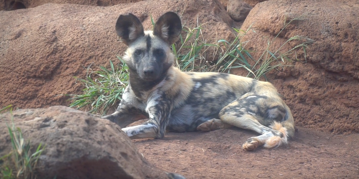 3 endangered African wild dogs born at Honolulu Zoo shipped off to Boise