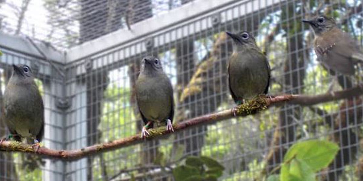 Kauai bird recovery project seeks to eradicate bird illness in the islands