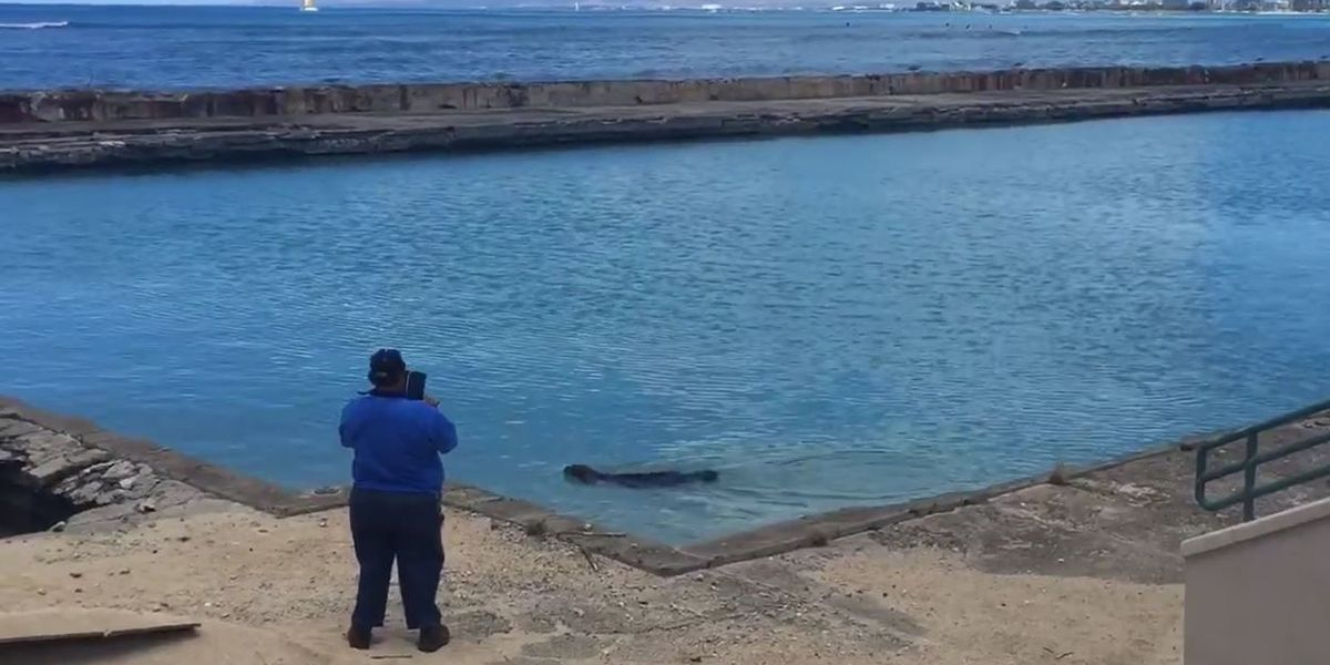 Monk seal pup triggers federal response after swimming into natatorium pool again