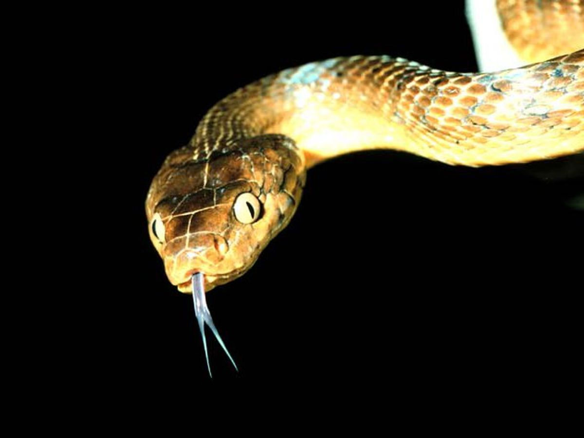 Hawaii just purposely imported 4 brown tree snakes. Here's why