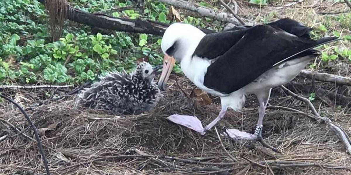 Adorable! Laysan Albatross birds doing well on Oahu's North Shore