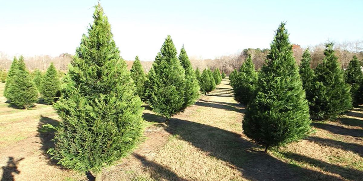 Report: Shortage of Christmas trees this year