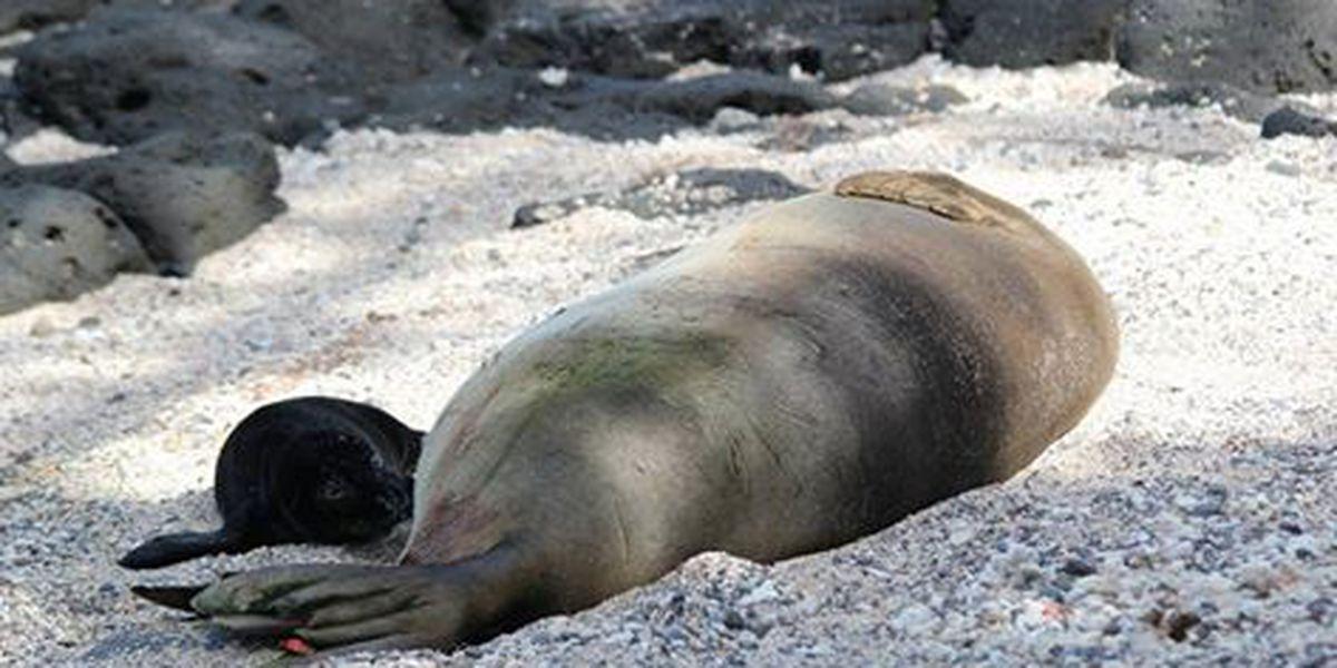 Kalaupapa National Historic Park welcomes 100th baby monk seal
