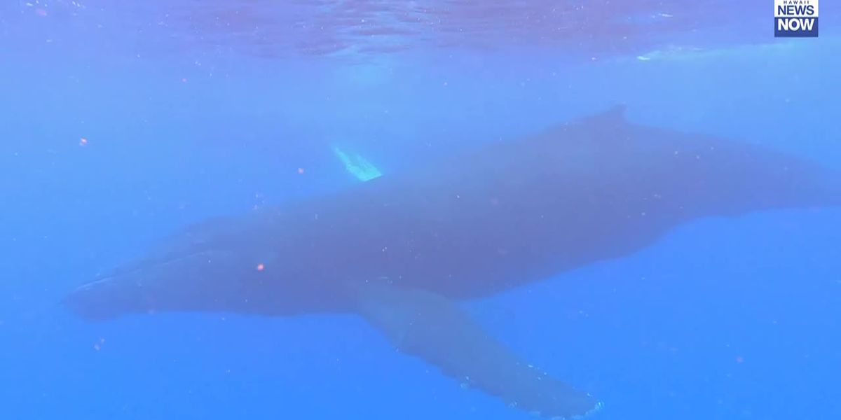 Humpback whales spotted off the coast of West Oahu