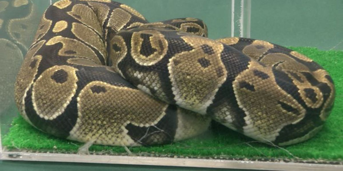 5-foot-long ball python discovered near Hilo landfill