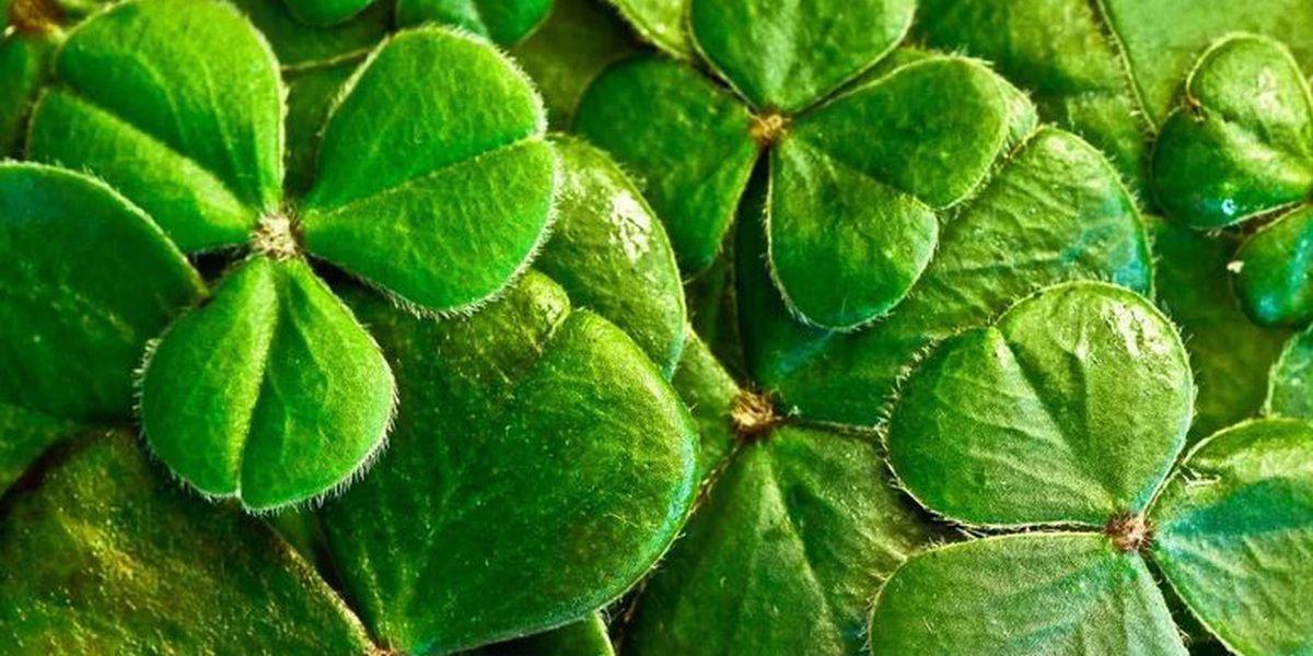 Wear your green! St. Patrick's Day celebrations in full swing on Oahu