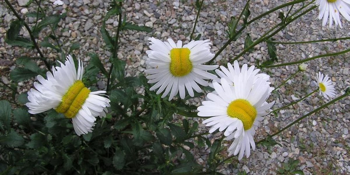 Photo of 'mutant' daisies in Japan triggers radiation fears