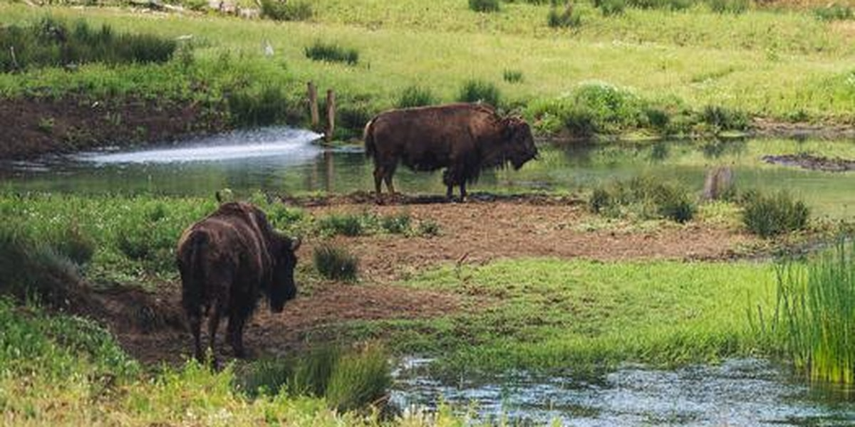 Kid who got into Bison enclosure is rescued